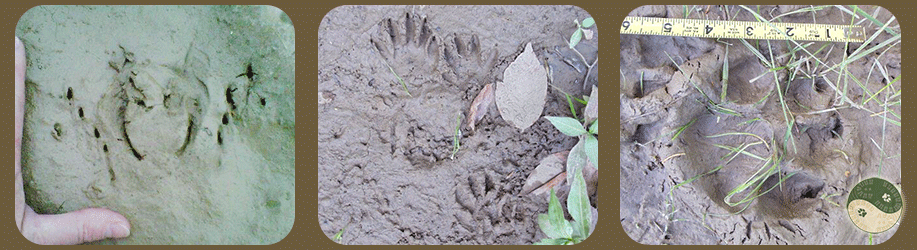 Bullfrog, raccoon and canine tracks